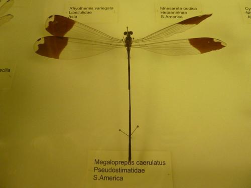 Dragonfly at Tring