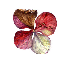 Dried Hydrangea Flower (Sigrid Frensen) Tags: pink autumn red flower art garden painting dead botanical watercolour hydrangea dried shrub preziosa hydrangeaserratapreziosa