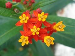Veintiuñilla, Chilillo (Asclepias curassavica) FLORES