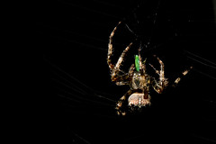 Garden Spider with leafhopper (Clickme Studio) Tags: macro nature animal insect spider web