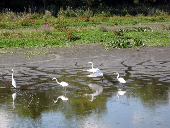 Egrets on the Impoundment
