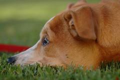 2010 612 Wait.... (Explore!!) (maryannlacy) Tags: dog beagle grass training puppy mix nikon labrador sigma daisy bokehhearts 105mmexdg