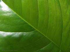 89.4.25 - 2 (Nasser Torabzade) Tags: green closeup leaf سبز برگ نمایبسته
