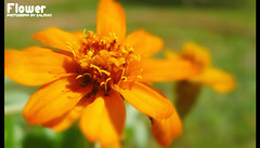 sun Flower (!! S A L M A N . A L M O J E L !!) Tags: flower
