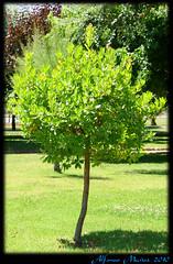 Arbutus unedo - Madroño - Arbol