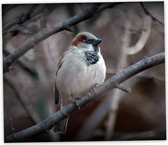 He was framed, framed I tell ya! (makeupanid) Tags: winter boy male branch framed branches sparrow housesparrow passerdomesticus featheryfriday europeansparrow stillcantbelievetheseguysareendangeredinsomeplaces theysurearenthere