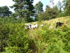 Retour sur la piste forestière avec rencontre d'un troupeau