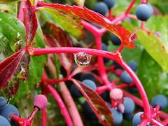 raindrop (Henry der Mops) Tags: flower macro nature rain waterdrop wiese dewdrop raindrops blau blume makro regen raindrop regentropfen vanagram