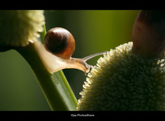 Slow down.. (Vijay..) Tags: macro nature canon slow snail backlit zoomlens raynox ef70300 dcr150