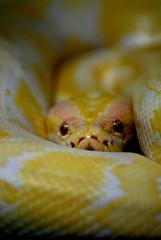 Quin aguanta ms la mirada....???!!! (E.M.Lpez) Tags: naturaleza animal reptile snake septiembre ojos verano amarilla albina reptil serpiente pitn alcallareal