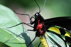 Money is not required to buy one necessity of the soul. (visiblejoy) Tags: red chicago macro male green eye beautiful yellow tongue insect leaf colorful legs quote wing 100mm antenna quotation proboscis butterflyhaven birdwingbutterfly annsullivan canon40d peggynotebaertbutterflies visiblejoyphotography flickrstruereflection1