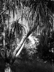 'pony tail palm' (YAZMDG (15,000 images)) Tags: flowers blackandwhite bw black leaves sepia dark studio moss lowlight flora noir gloomy y noiretblanc tint nb seeds fungi sombre bark nsw ambient banksia lichen blackout pods protea florafauna yaz obscure obscur melancholic absence shadowy proteas kangaroopaw lightdark geraldtonwax melancholie dicksonia grevilleas northernrivers lacunae xanthorrhea obscurite xanthorea callistemons faunaofaustralia indigenousflora lacune yazminamicheledegaye yazmdg floraofoz florafaunaofoz obscuritee ystudio wildandnativeflora cllistemon leucodendrums
