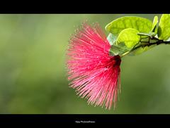 Look close.. (Vijay..) Tags: pink flower macro nature colors beautiful composition canon stars focus dof blossom bokeh sharp universe nagpur powderpuff ef70300 vijayphulwadhawa minimilasim