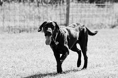 Black Lab in Black & White