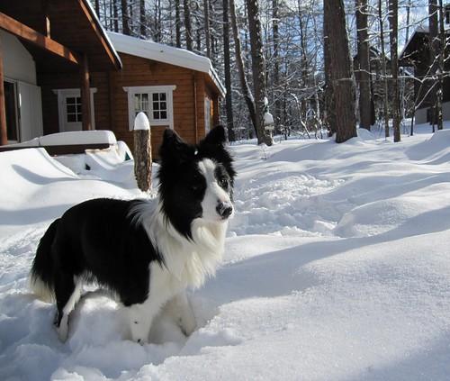 積雪した庭で遊ぶランディ 2010年2月2日 by Poran111