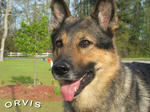 Orvis Cover Dog Contest - Cody