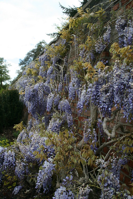 wisteria!