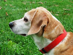 The royal profile (Lights in my hometown) Tags: dog beagle adelaide addie heartofgold mysweetbaby