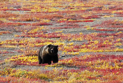 Grizzly on the Tundra (Grant Mattice Photography) Tags: bear canada nature nikon wildlife tundra bruin grizzlybear dempsterhighway september2010 grantmattice yukonterritorys