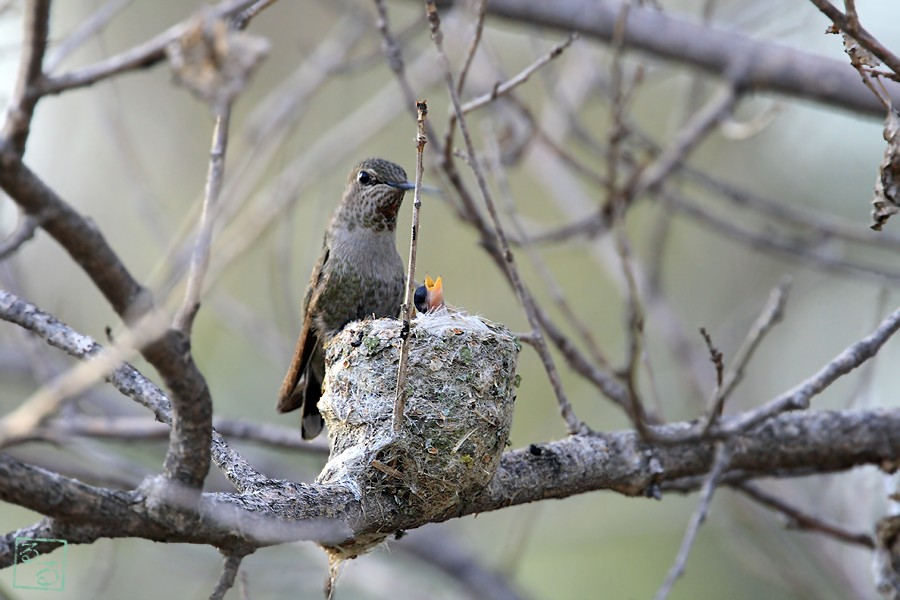 Anna's Hummingbird nest 0228101