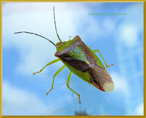 Shield Bug 4
