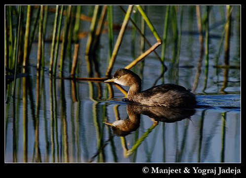 Little Grebe (Tachybaptus ruficollis) in non-breeding plumage (at dawn)