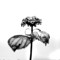 Flower in the garden close up (Dave Road Records) Tags: ireland blackandwhite donegal