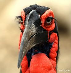 Sexy eyes (ruslou (More off than on)) Tags: nature southafrica wildlife krugernationalpark groundhornbill bucorvusleadbeateri southerngroundhornbill specanimal mywinners ruslou bromvoël bucorvuscafer