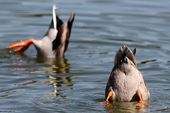 Mallards Feeding (Mr.TinDC) Tags: birds washingtondc dc feeding wildlife ducks butts dcist waterfowl anasplatyrhynchos mallards constitutiongardens upending duckbutts constitutiongardenslake