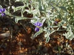 Solanaceae DSCF8172