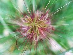 blooming grass (Flienepien) Tags: plant macro nature up grass closeup close natuur gras blooming bloem bloeiend overtheexcellence