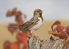 Harris's Sparrow Portrait #2 (Jeff Dyck) Tags: winter red leaves birds call singing sparrow sing stump perched harris calling fencepost harriss plummage jeffdyck harrisssparrow zonotrichiaquerula winterplummage harrissparrow oxdrift