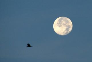 Super Harvest Moon and a Blackbird - Photo by Jared Mysko