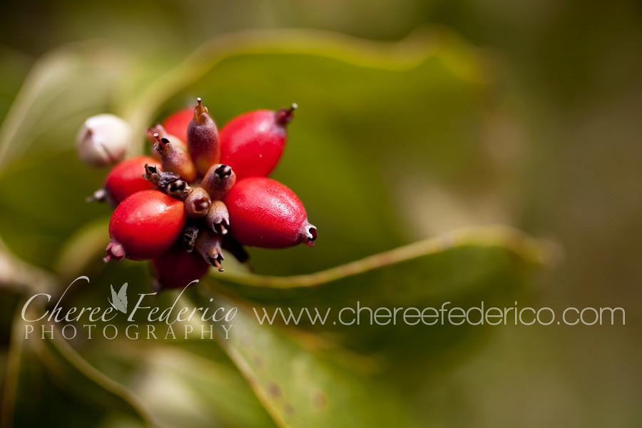 Red Dogwood Berries Blog