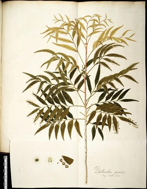 Phyllanthus speciosa