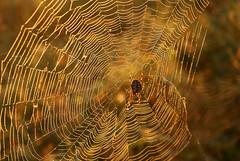kép 047-2 (jürgen77) Tags: spider sony pók a300