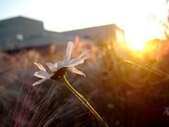 Turn you face towards the sun (Halle Ross) Tags: flowers light sunset sky sun sunlight canada flower nature field yellow daisies weeds sca alberta daisy wildflowers wildflower sherwoodpark