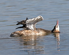 Grebe Contortions ( No Grebes were hurt in the making of this image ) (Andrew Haynes Wildlife Images) Tags: bird nature wildlife coventry warwickshire greatcrestedgrebe brandonmarsh canon7d ajh2008 johnbaldwinhide