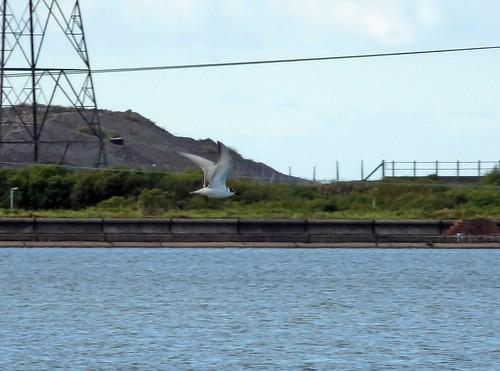 23500 - Whiskered Tern, Eglwys Nunydd