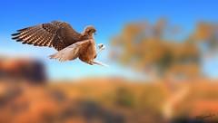 Brown Falcon - Full Focus (AdamNoosa) Tags: tree adam bird nature gum desert eagle flight feathers australia outback hunter prey gormley northernterritory brownfalcon gjost thepinnaclehof kanchenjungachallengewinner mygearandmepremium mygearandmebronze mygearandmesilver mygearandmegold adamgormley mygearandmeplatinum mygearandmediamond thepinnacleblog tphofweek66