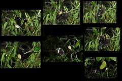 Meals Ready (cknara) Tags: macro butterfly spider action perch signaturespider dramainwild actioninwild