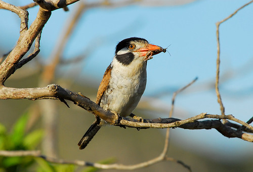 birds animals joão-bobo Nystalus chacuru White-eared Puffbird favorites