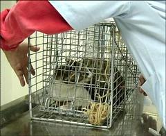 準備進行結育的街貓。照片提供:台北市動保處