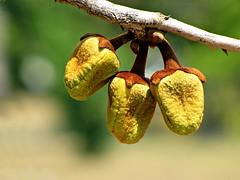 Annona crassiflora (Mauricio Mercadante) Tags: cerrado savannah annonaceae annona taxonomy:genus=annona annonacrassiflora annonacrassifolia araticumdocerrado taxonomy:binomial=annonacrassiflora