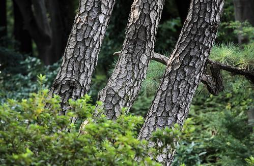 Pine Trees / 松(まつ)
