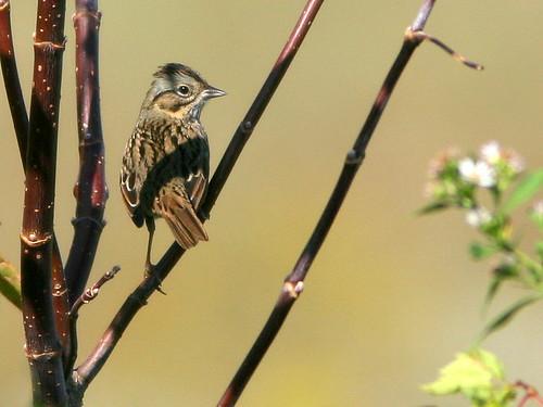 Song Sparrow 20101009