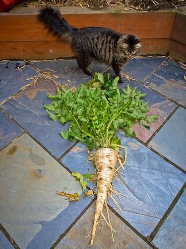 2010-10-10   Huge parsnip  002-450px