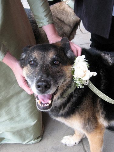 Nike, an elderly Shedder, grins up at the camera.  My hands are still adjusting her collar after having pinned a white rose and baby's breath corsage on it.  Nike is clearly delighted to have a flower, unlike some ungrateful dogs.