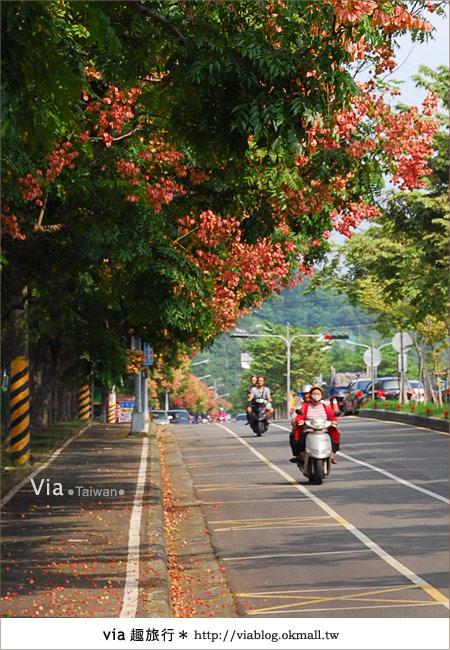 【台中】台灣秋天最美的街道!台中大坑發現美麗的台灣欒樹6
