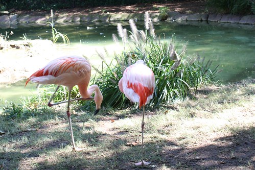 flamingoes!